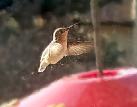Peggy's hummingbird photo